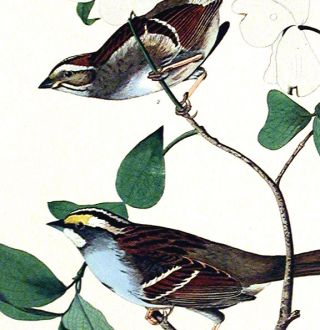 "White throated Sparrow. From ""The Birds of America"" (Amsterdam Edition)"