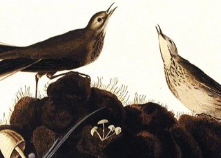 """Brown Titlark. From """"The Birds of America"""" (Amsterdam Edition)"""