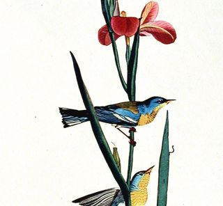 "Blue Yellow-backed Warbler. From ""The Birds of America"" (Amsterdam Edition)"