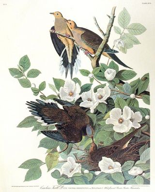 "Carolina Turtle Dove. From ""The Birds of America"" (Amsterdam Edition). John James AUDUBON"