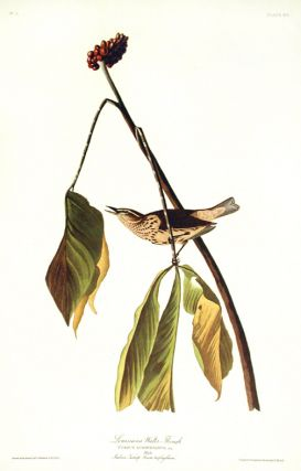 "Louisiana Water Thrush. From ""The Birds of America"" (Amsterdam Edition). John James AUDUBON"