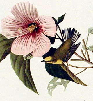 "Blue-winged Yellow Warbler. From ""The Birds of America"" (Amsterdam Edition)"
