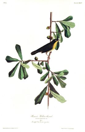 "Roscoe's Yellow-throat. From ""The Birds of America"" (Amsterdam Edition). John James AUDUBON"