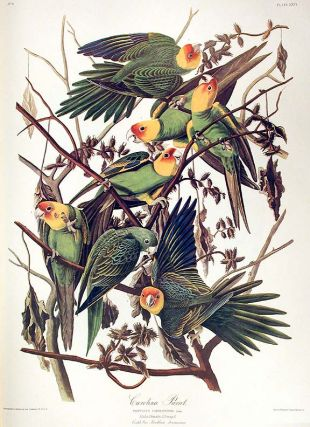 "Carolina Parrot. From ""The Birds of America"" (Amsterdam Edition). John James AUDUBON"