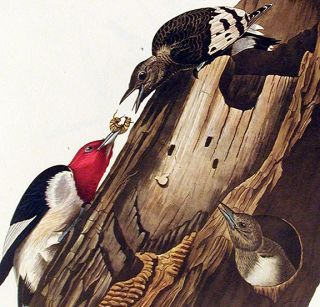 "Red headed Woodpecker. From ""The Birds of America"" (Amsterdam Edition)"