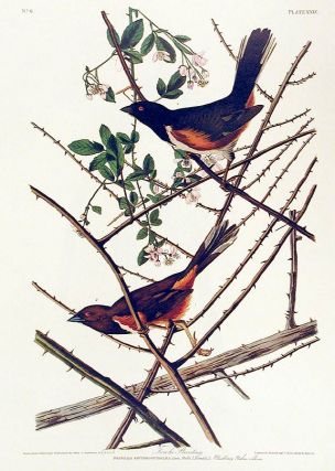"Towhe Bunting. From ""The Birds of America"" (Amsterdam Edition). John James AUDUBON"