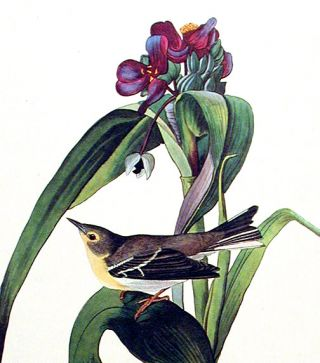 "Vigors's Warbler. From ""The Birds of America"" (Amsterdam Edition). John James AUDUBON"