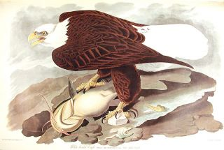 "White-headed Eagle. From ""The Birds of America"" (Amsterdam Edition). John James AUDUBON."