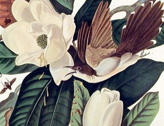 "Black-billed Cuckoo. From ""The Birds of America"" (Amsterdam Edition)"