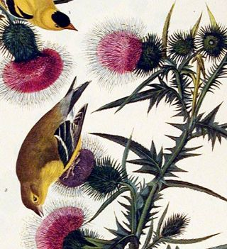 "American Goldfinch. From ""The Birds of America"" (Amsterdam Edition)"