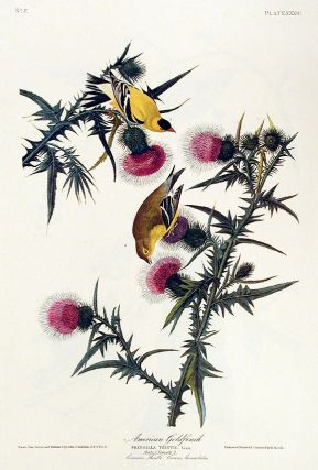 "American Goldfinch. From ""The Birds of America"" (Amsterdam Edition). John James AUDUBON."