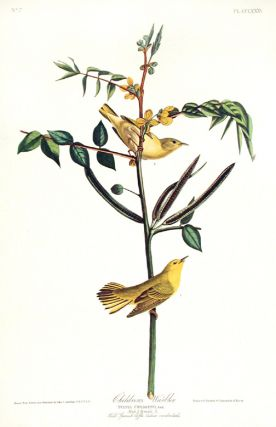 "Children's Warbler. From ""The Birds of America"" (Amsterdam Edition). John James AUDUBON."