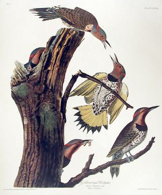 "Golden-winged Woodpecker. From ""The Birds of America"" (Amsterdam Edition). John James AUDUBON"
