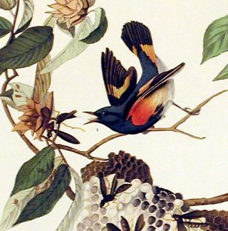 "American Redstart. From ""The Birds of America"" (Amsterdam Edition)"