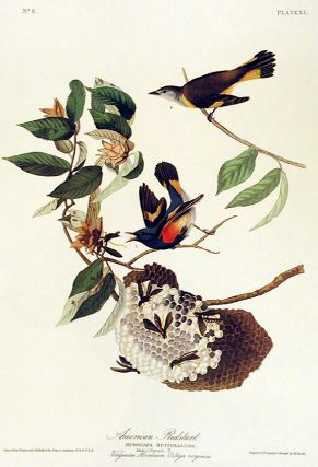 "American Redstart. From ""The Birds of America"" (Amsterdam Edition). John James AUDUBON"