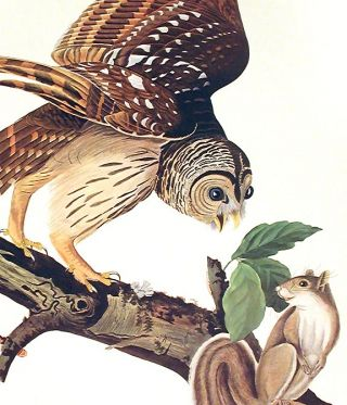 "Barred Owl. From ""The Birds of America"" (Amsterdam Edition)"