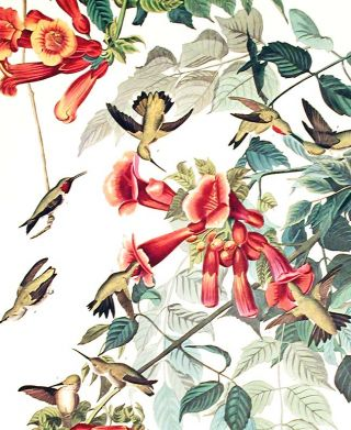 "Ruby-throated Humming Bird. From ""The Birds of America"" (Amsterdam Edition)"