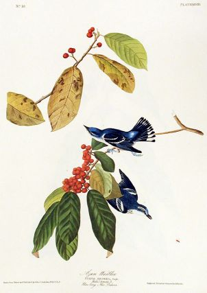 "Azure Warbler. From ""The Birds of America"" (Amsterdam Edition). John James AUDUBON"