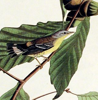 "Black and Yellow Warbler. From ""The Birds of America"" (Amsterdam Edition)"