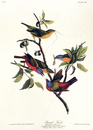 "Painted Finch. From ""The Birds of America"" (Amsterdam Edition). John James AUDUBON"