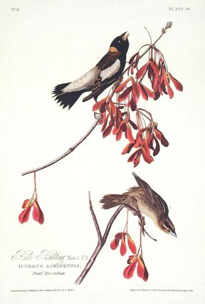 "Rice Bunting. From ""The Birds of America"" (Amsterdam Edition). John James AUDUBON"