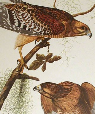 "Red-shouldered Hawk. From ""The Birds of America"" (Amsterdam Edition). John James AUDUBON"