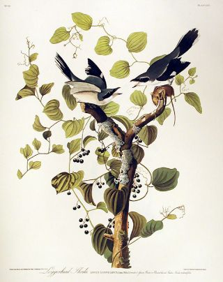 "Loggerhead Shrike. From ""The Birds of America"" (Amsterdam Edition). John James AUDUBON"