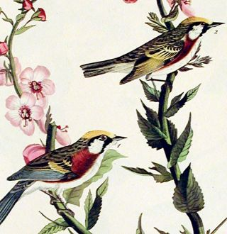 "Chestnut-sided Warbler. From ""The Birds of America"" (Amsterdam Edition)"