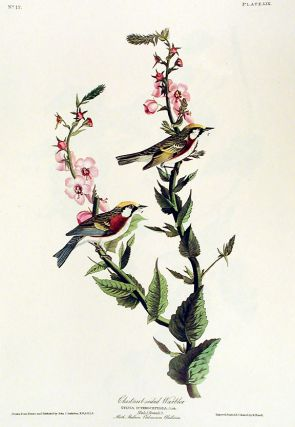 "Chestnut-sided Warbler. From ""The Birds of America"" (Amsterdam Edition). John James AUDUBON"