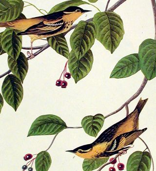 """Carbonated Warbler. From """"The Birds of America"""" (Amsterdam Edition)"""