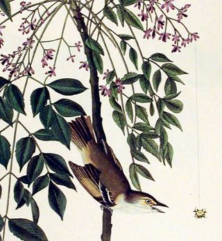 "White-eyed Flycatcher or Vireo. From ""The Birds of America"" (Amsterdam Edition)"