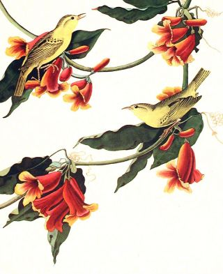 """Rathbone Warbler. From """"The Birds of America"""" (Amsterdam Edition)"""
