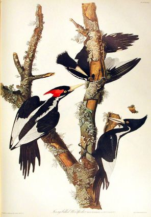 "Ivory-billed Woodpecker. From ""The Birds of America"" (Amsterdam Edition). John James AUDUBON"