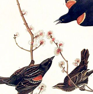"Red winged Starling or Marsh Blackbird. From ""The Birds of America"" (Amsterdam Edition)"