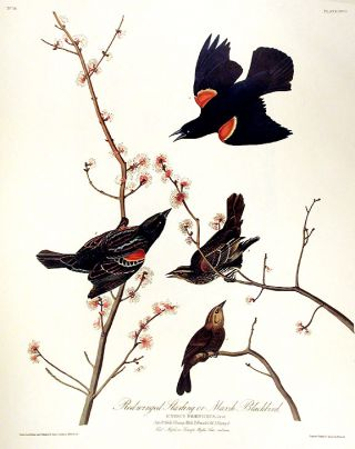"Red winged Starling or Marsh Blackbird. From ""The Birds of America"" (Amsterdam Edition). John..."