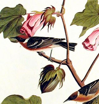 "Bay-breasted Warbler. From ""The Birds of America"" (Amsterdam Edition)"