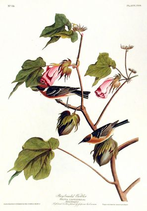 "Bay-breasted Warbler. From ""The Birds of America"" (Amsterdam Edition). John James AUDUBON"