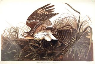 "Winter Hawk. From ""The Birds of America"" (Amsterdam Edition). John James AUDUBON"