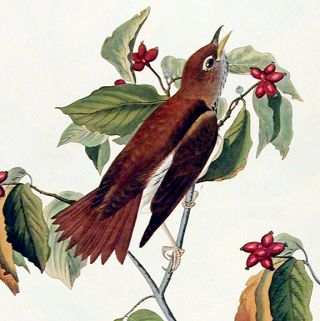 "Wood-Thrush. From ""The Birds of America"" (Amsterdam Edition)"