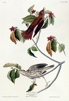 "Wood-Thrush. From ""The Birds of America"" (Amsterdam Edition). John James AUDUBON."