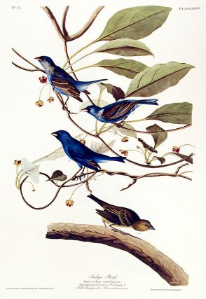 "Indigo Bird. From ""The Birds of America"" (Amsterdam Edition). John James AUDUBON."