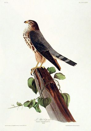 "Le Petit Caporal. From ""The Birds of America"" (Amsterdam Edition). John James AUDUBON"