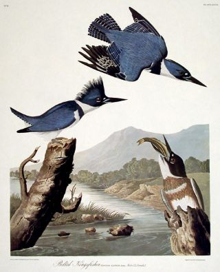 "Belted Kingfisher. From ""The Birds of America"" (Amsterdam Edition). John James AUDUBON"