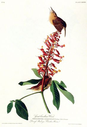 "Great Carolina Wren. From ""The Birds of America"" (Amsterdam Edition)"