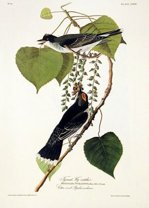 "Gray Tyrant or Pipiry Fly-catcher. From ""The Birds of America"" (Amsterdam Edition)"