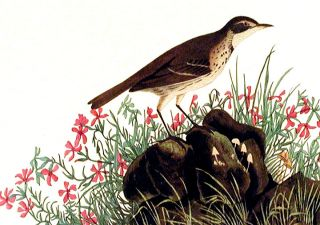 "Prairie Titlark. From ""The Birds of America"" (Amsterdam Edition)"