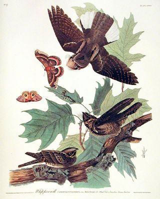 "Whip-poor-will. From ""The Birds of America"" (Amsterdam Edition). John James AUDUBON"
