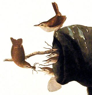 """House Wren. From """"The Birds of America"""" (Amsterdam Edition)"""