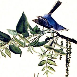 "Blue-grey Fly-catcher. From ""The Birds of America"" (Amsterdam Edition)"