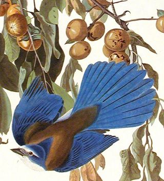"Florida Jay. From ""The Birds of America"" (Amsterdam Edition)"